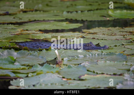 Spectacled Caiman (Caiman crocodilus crocodilus) - Stockfoto
