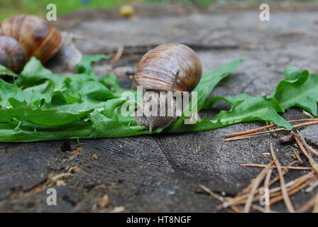 Snail crawling on dandelion leaves. Helix pomatia (common names the Burgundy snail, Roman snail, edible snail or - Stock Photo