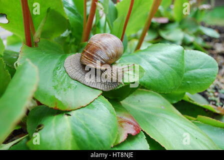 Snail crawling on green leaves. Helix pomatia (common names the Burgundy snail, Roman snail, edible snail or escargot). - Stock Photo