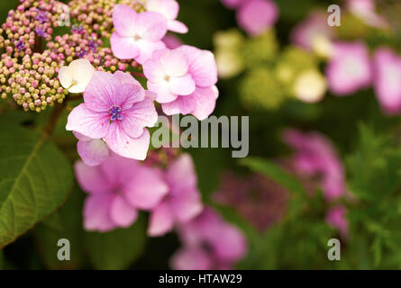 Pink Hydrangea flowers in an English country garden. - Stock Photo