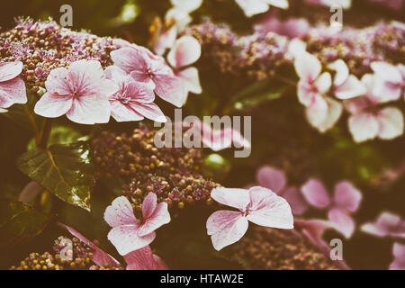 Pink Hydrangea flowers in an English country garden. Colour styling and film grain added to the image. - Stock Photo