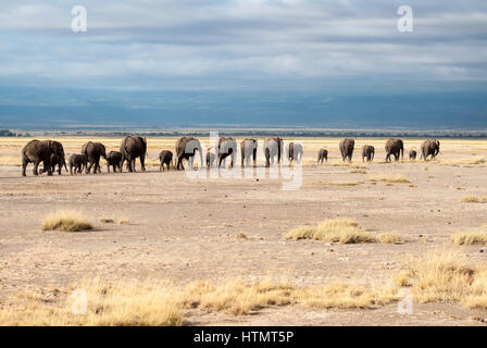 Elephants of Amboseli. A line of elephants, including their young, make their way towards a watering hole in Amboseli - Stockfoto