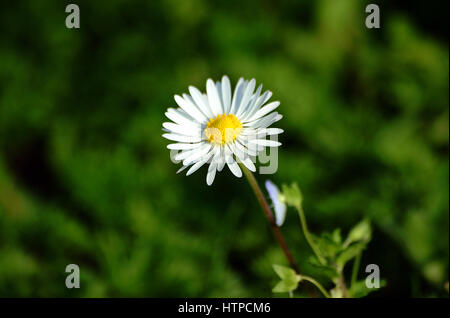 daisy in a field of daisies in bloom - Stock Photo