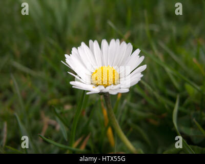 A close-up shot of a lovely daisy in spring. - Stock Photo