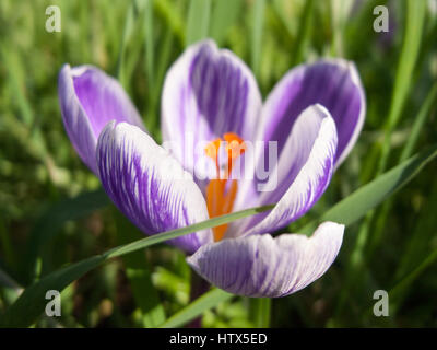 A gorgeous purple flower head in bloom. - Stock Photo
