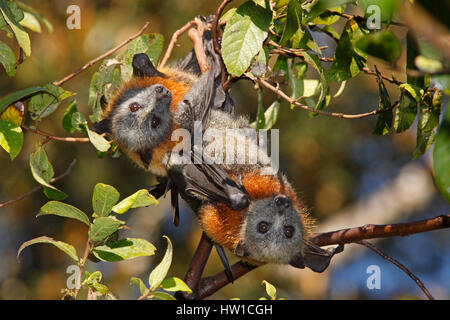 A pair of Grey Headed Flying Foxes, Pteropus poliocephalus roosting in a tree - Stockfoto