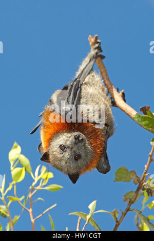 A Grey Headed Flying Fox, Pteropus poliocephalus, hanging from a branch with a blue sky background. - Stockfoto