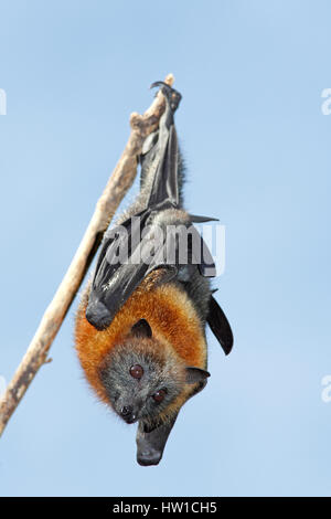 Grey Headed Flying Fox, Pteropus poliocephalus, hanging from a branch with a blue sky background. Bellingen Island, - Stock Photo