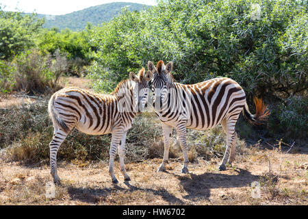 Zebras - Pair of Zebras, Plains Zebra, Equus Quagga - concept of Animal love, Animals in love; South Africa - Stock Photo