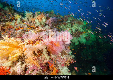 Colored Soft Corals, Nephthea sp, Felidhu Atoll, Maldives - Stock Photo