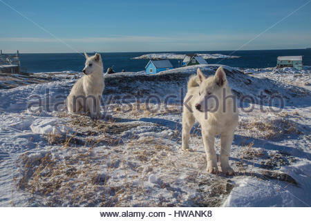 greenlandic sled dogs posing - Stock Photo
