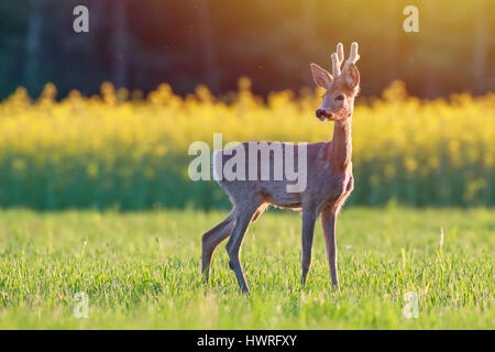 Wild roe deer in a field at sunset - Stock Photo