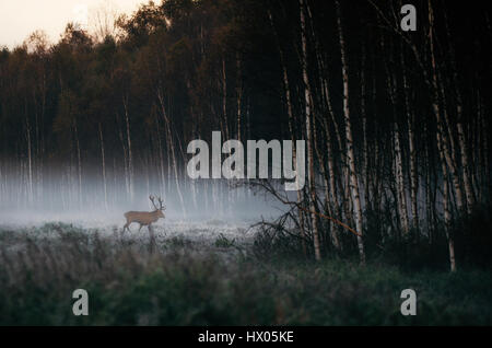 Beautiful red deer stag goes to foggy misty forest landscape in autumn in Belarus. - Stock Photo