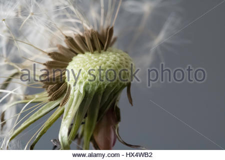 Dandelion in macro close up with an artificial grey backdrop - Stock Photo