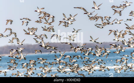 A Large flock of Canvas Back Ducks Flying Over the Chesapeake Bay in Maryland - Stock Photo