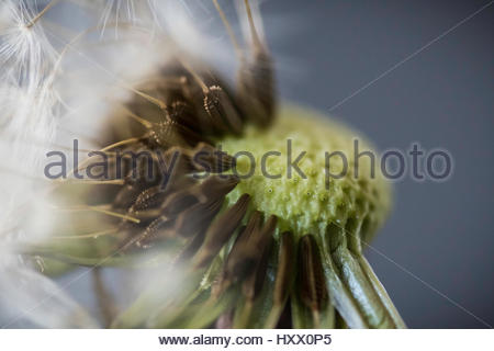 Dandelion in macro close up with an artificial grey backdrop stock image - Stock Photo