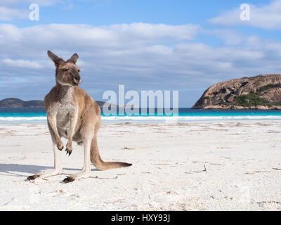 Kangaroo on beach in Lucky Bay, Cape Le Grand National Park, Western Australia - Stock Photo