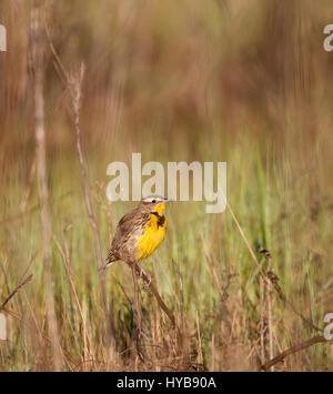 Western Meadowlark - Stock Photo