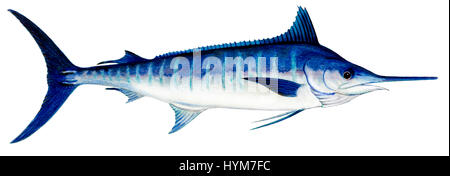 Atlantic Blue Marlin (Makaira nigricans), drawing. - Stock Photo