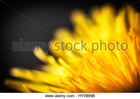 Yellow Dandelion macro close up with a dreamy tone and light - Stock Photo