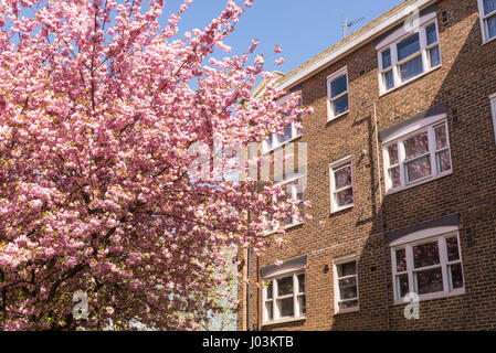 Classic British residential building in brown bricks next to a Japanese Cherry tree in full bloom covered in pink - Stock Photo