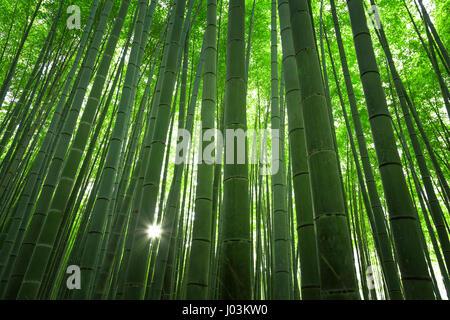 Sunlight in the bamboo grove in Arashiyama, Kyoto, Japan - Stock Photo