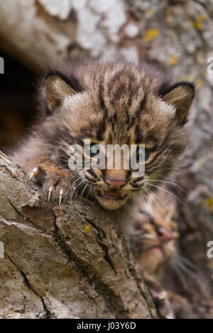 Bobcat North American mammal of cat family Felidae, Lynx ...