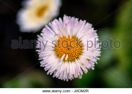 Daisy flower head in extreme close up backdrop - Stock Photo