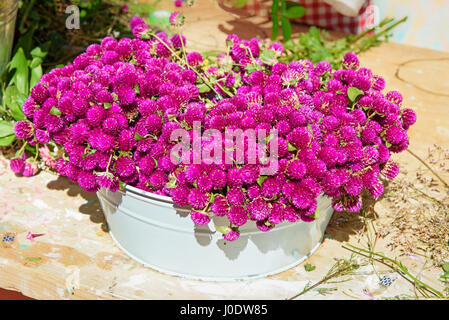Purple Gomphrena flower for bouquets and wreaths in white pot - Stock Photo