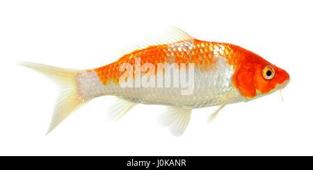 One white orange koi carp in artificial pond in hong kong for Artificial koi fish
