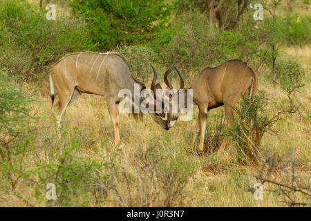 Kudu (Tragelaphus imberbis) two males sparring, Samburu National Reserve, Kenya - Stock Photo