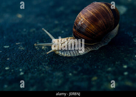 Closeup of a snail on a blue stone background. - Stock Photo
