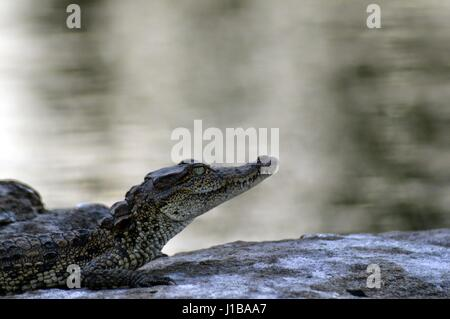 Sweetest baby crocodile - Stock Photo
