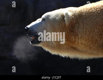 Polar bear Cincinnati Zoo with breath condensation - Stock Photo