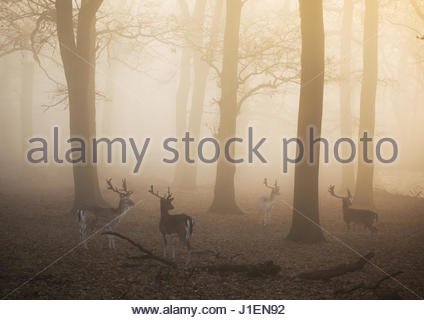 Fallow deer stags, Dama dama, walk through a misty forest in Richmond Park at sunrise. - Stock Photo