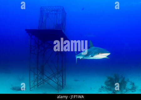 Reef Sharks swimming near an underwater manmade structure - Stock Photo