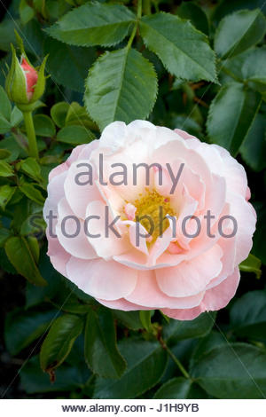 rose 39 marie curie 39 stock photo royalty free image 14888632 alamy. Black Bedroom Furniture Sets. Home Design Ideas
