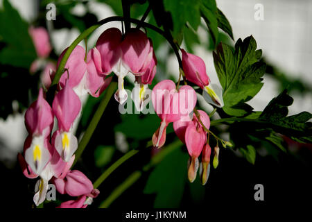 Close up of pink bleeding hearts in the sun - Stock Photo