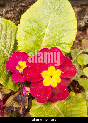 a close up shot of a purple and yellow flower head outside with big green leaves on the floor in front garden gravel - Stock Photo