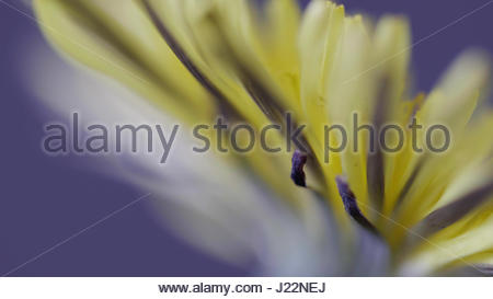 Yellow Dandelion macro close up against a purple backdrop - Stock Photo