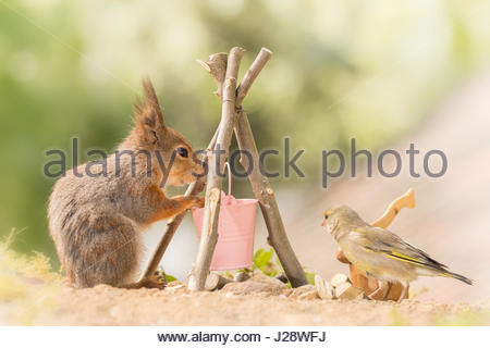 close up of  red squirrel standing with a bucket and campfire with a green finch watching - Stock Photo
