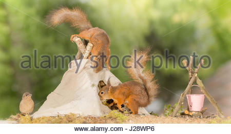 close up of  red squirrel standing on a teepee  with another squirrel going in with bird watching - Stock Photo