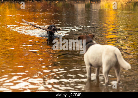 A dog fetches a stick as another watches on surrounded by colours of Autumn and reflections in a lake. Pitlochry, - Stock Photo
