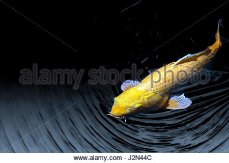 Koi carp cyprinus carpio with very large scales stock for Koi fish head