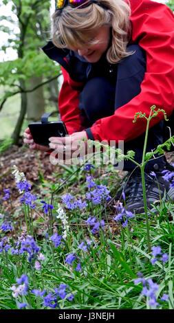 Ashbourne, Derbyshire, UK. 06th May, 2017. UK Weather: woman photographing rare wild native white bluebells Hyacinthoides - Stock Photo