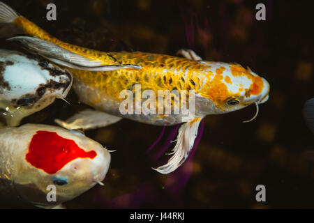 Koi or gold fish in a pond with a water lily stock photo for Koi swimming pool