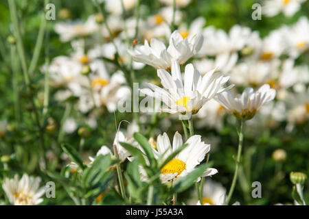 A field of white daisies - Stock Photo
