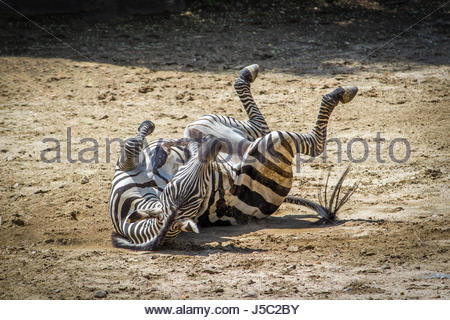 Zebra Rolling on the Ground - Stock Photo