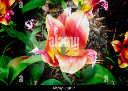 Taken in the spring sunshine a close-up of a yellow, red and white tulip with open petals.and green foliage growing - Stock Photo