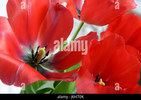 Close up of a red open lily flower - Stock Photo